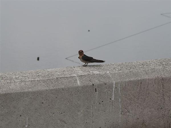 20100612鰲鼓濕地之旅 洋燕