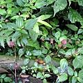 長梗盤麻花