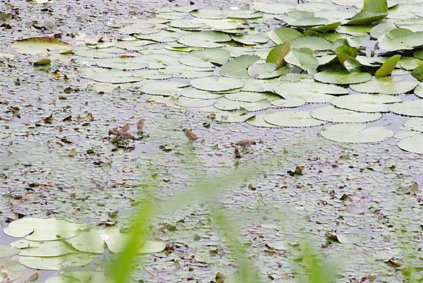 20110514官田水雉保護區 偷竊水草的斑文鳥XD