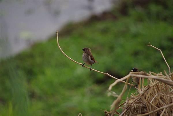 20110514官田水雉保護區 兩袖清風的斑文鳥XD