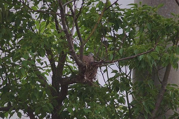 20110514官田水雉保護區 偷睡覺的紅鳩媽媽