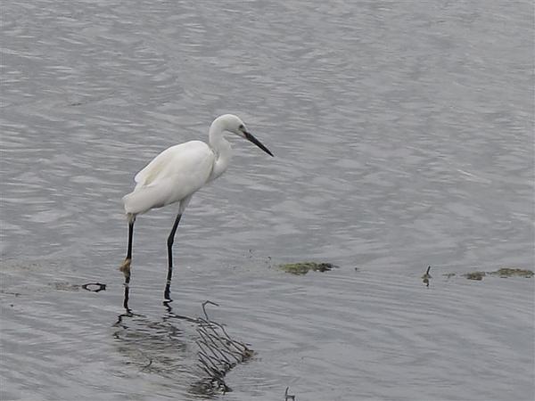 20100612鰲鼓濕地之旅 小白鷺