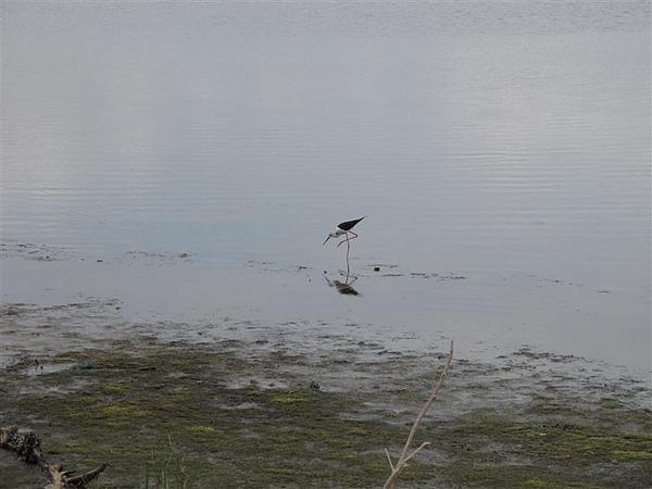 20100612鰲鼓濕地之旅 高蹺鴴