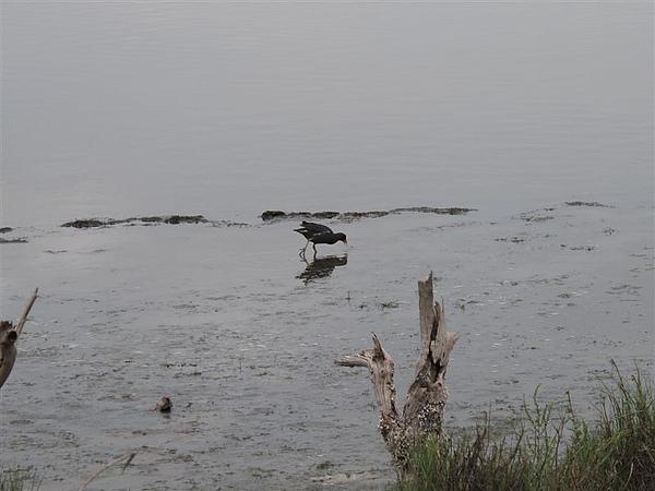 20100612鰲鼓濕地之旅 紅冠水雞