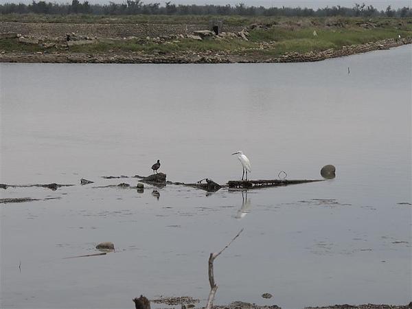 20100612鰲鼓濕地之旅 小白鷺+紅冠水雞