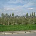 再度上車,沿途經過一大片的葡萄園