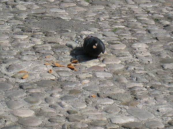 鴿子覓食中
