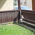 這隻狗很有趣,看到主人就一直叫、一直跳