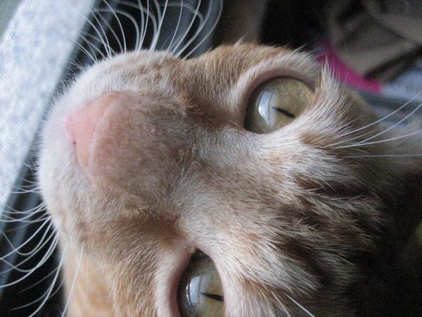是沒看過貓翻白眼阿?!