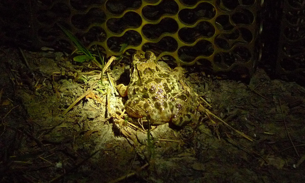 虎皮蛙P1050006.jpg