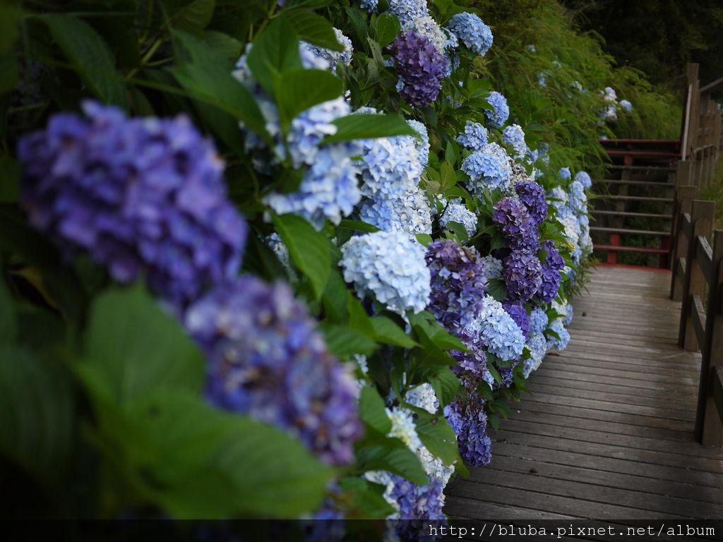 武陵繡球花