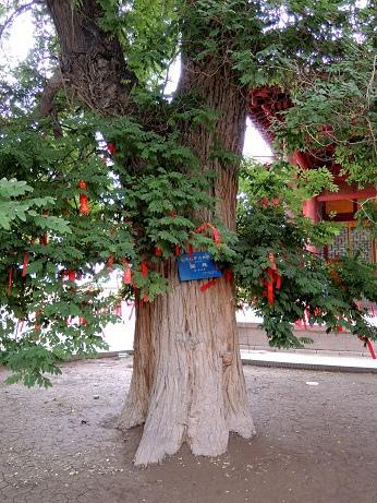 DSCN6223_擁有1600年歷史的老樹_ps.jpg