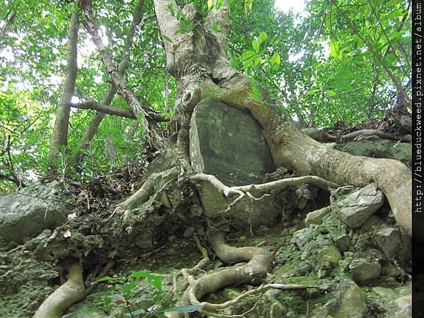 樹根抱大石