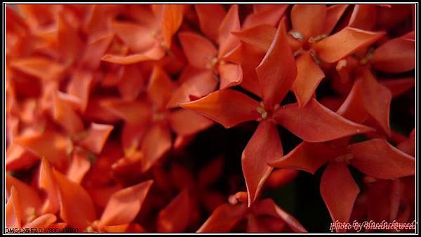 這是成大中文系館前矮草叢裡的花