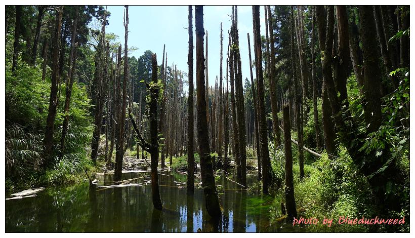 也有一些枯木在水裡