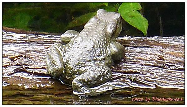 這邊的大黑蝌蚪長大都變成這個吧