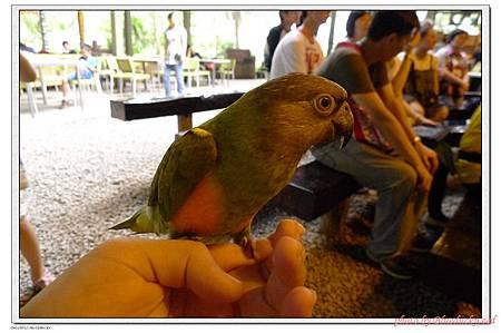 不小心從等候表演區飛過來的小鸚鵡