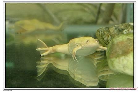 很像浮屍的青蛙