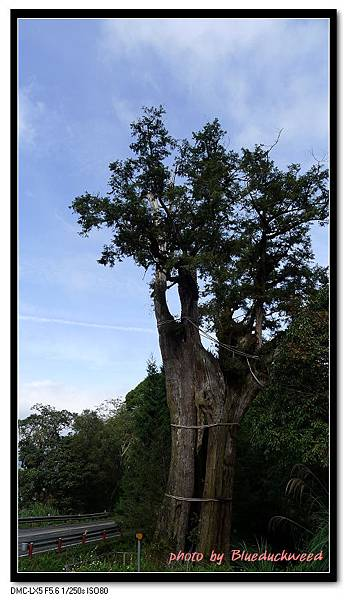 中空的神木,但繼續生長中