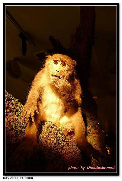 是在模仿猴子