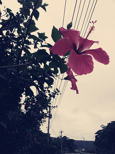路旁扶桑花