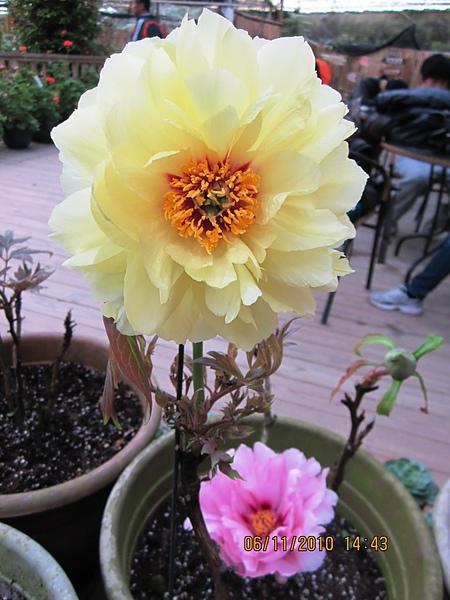 黃色的牡丹花