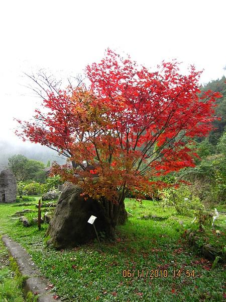 火紅的槭樹