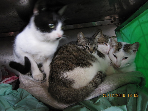 窩在一起有四隻貓.JPG