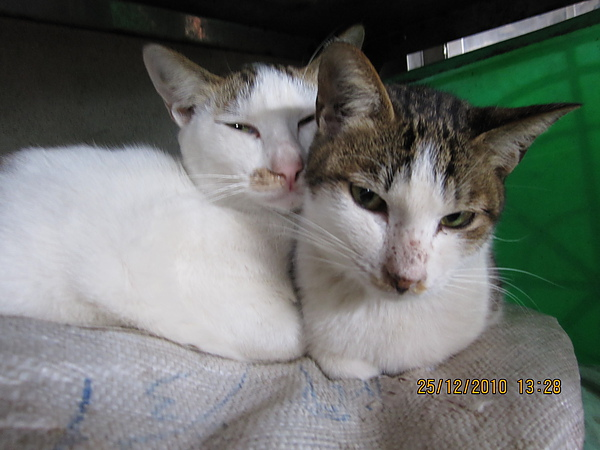 可能是夫妻一起生出二十號小貓.JPG