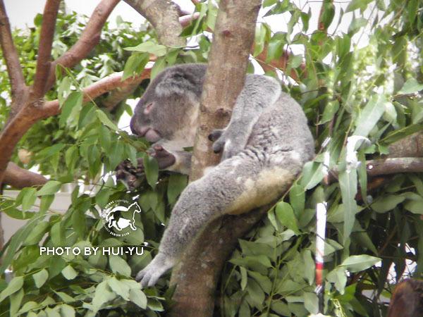 木柵動物園的無尾熊