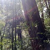 開始出現大樹