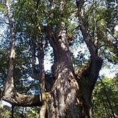 媽媽樹真的超級超級大