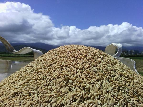 太空包裡的稻穀1
