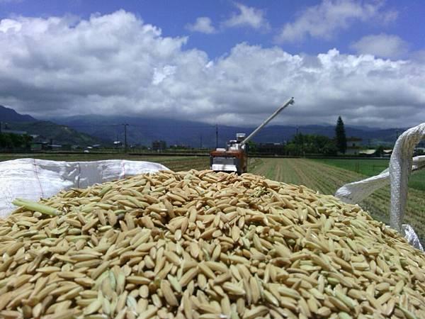 割稻機要吐出稻穀了