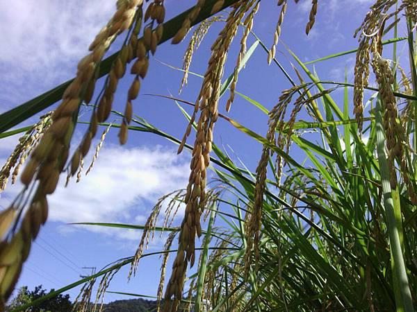 稻裡的天空
