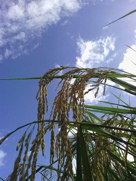 稻裡的天空2