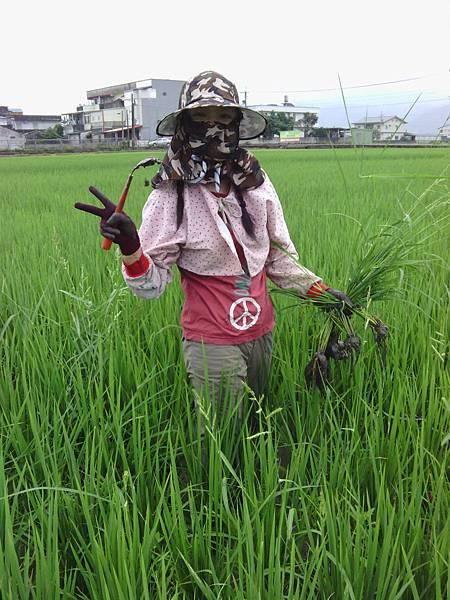 田裡除稗草