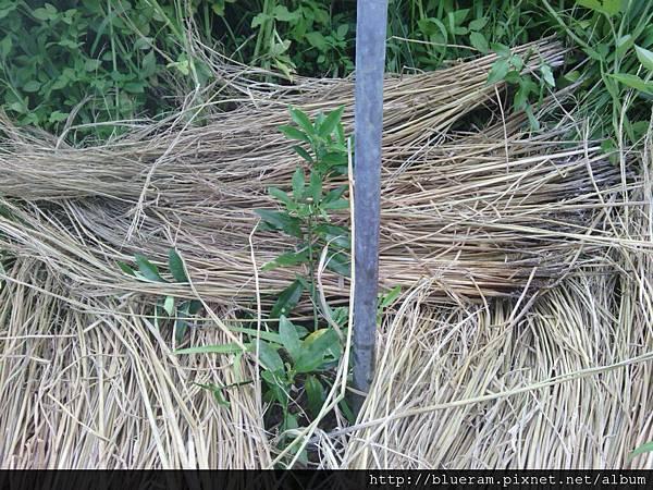 20120815再怎麼除也跟不上草生長的速度 拿稻桿蓋撐一下 等你們長大就不怕草了