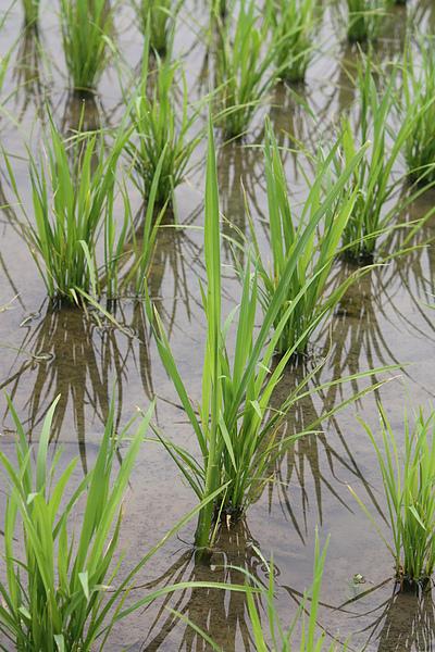 長很高的是去年種的筊白筍舊根在田裡面 已經拔過一輪了 照舊繼續冒.JPG