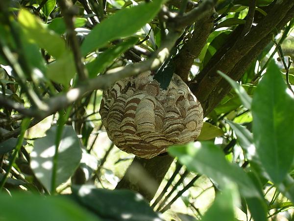 很漂亮的蜂窩 掛在金棗樹上 在高度約140公分的地方 大小約略中小型碗公.JPG