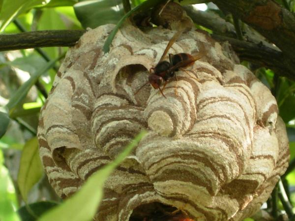 胡蜂科黃腳虎頭蜂 體長約 15mm 般築巢於高樹上 習性凶猛 雖然沒有蟄我但也威嚇我好多次 也跑錯地方了吧 那樹很矮耶.JPG