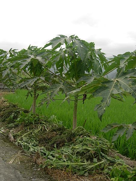 把撈起來的水草放到木瓜樹下 抑制雜草發生 還不錯有發揮功用.JPG