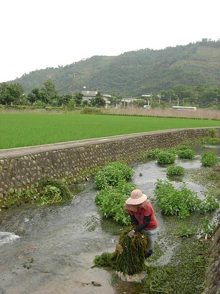是的這條河就在田旁邊 每天看到會造成河川優氧化的水草 一直有想要把它清除的念頭.JPG
