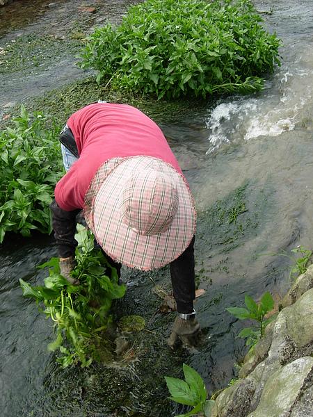 水草扎扎實實的在水裡長的很好.JPG