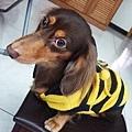 蜜蜂裝小比
