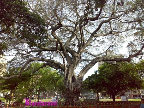 孔廟- 大樹.jpg