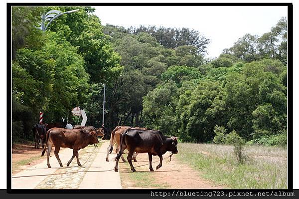 小金門《車轍道》自由放養的黃牛.jpg