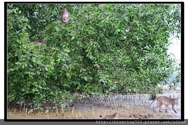 沙巴亞庇《威士頓濕地Weston》21.jpg