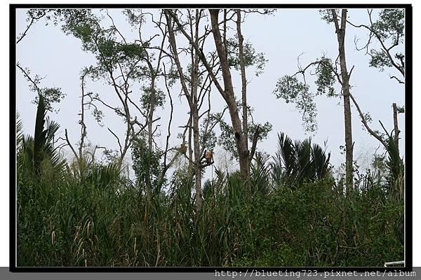沙巴亞庇《威士頓濕地Weston》35.jpg