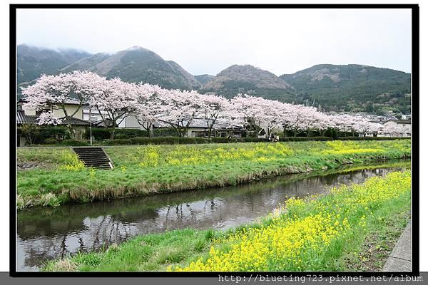 九州《由布院櫻花散策》4.jpg